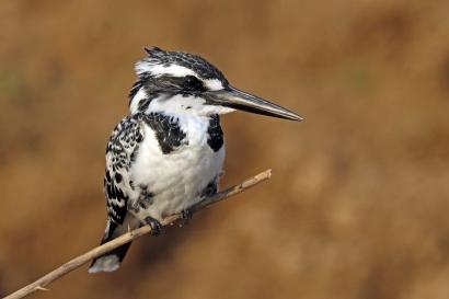 Pied_kingfisher_(Ceryle_rudis_leucomelanurus)_female